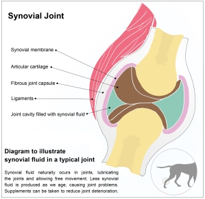 synovial-joint-final | © Natalie Knowles